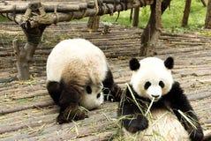 Dos osos gigantes de las pandas Imagen de archivo libre de regalías