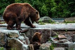 Dos osos majestuosos fotos de archivo