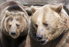 Dos osos marrones (arctos de los arctos del Ursus) imagen de archivo