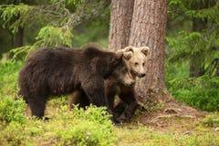 Dos osos marrones eurasiáticos jovenes que caminan en el bosque fotografía de archivo