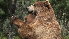 Dos osos marrones grandes almacen de metraje de vídeo