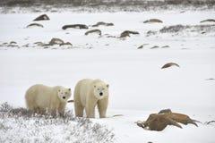 Dos osos polares. Fotos de archivo libres de regalías