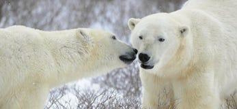 Dos osos polares. foto de archivo