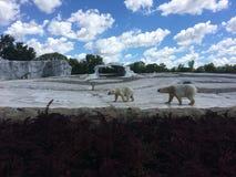 Dos osos polares fotografía de archivo libre de regalías