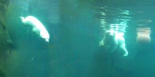 Dos osos polares brillantes nadan con un submarino de la bola en aguas de una turquesa fotos de archivo libres de regalías