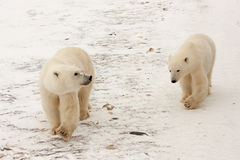 Dos osos polares que caminan en nieve imágenes de archivo libres de regalías