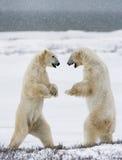 Dos osos polares que juegan con uno a en la tundra canadá fotografía de archivo