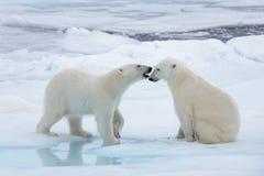 Dos osos polares salvajes jovenes que juegan en el hielo de paquete imagenes de archivo