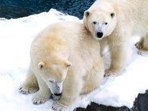 Dos osos polares se cierran juntos Imagen de archivo libre de regalías