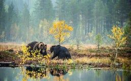 Dos osos que luchan en el pantano en el bosque del otoño imagen de archivo libre de regalías
