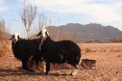 Dos ovejas Imágenes de archivo libres de regalías