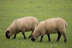 Dos ovejas Foto de archivo libre de regalías