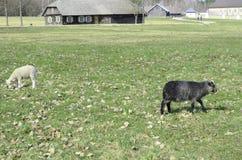 Dos ovejas Fotos de archivo libres de regalías