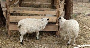 Dos ovejas comen el heno en la granja metrajes