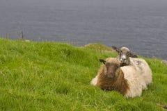 Dos ovejas con las lanas melenudas largas que le miran mientras que se relaja en el fondo de la hierba verde Foto de archivo