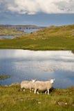 Dos ovejas en Escocia Foto de archivo