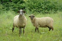 Dos ovejas en prado Foto de archivo libre de regalías