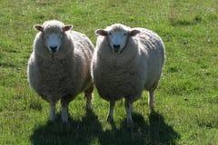Dos ovejas en prado verde Foto de archivo libre de regalías