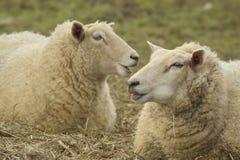 Dos ovejas en un campo imagen de archivo