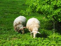 Dos ovejas en un campo, comen la hierba imagenes de archivo
