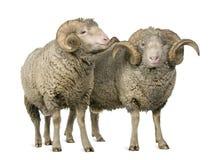 Dos ovejas merinas de Arles, RAM fotos de archivo