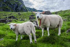Dos ovejas miran fijamente la cámara en la isla de Lofoton en Noruega fotos de archivo