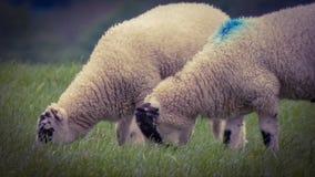 Dos ovejas imagen de archivo