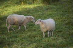 Dos ovejas que comen gras en el prado Foto de archivo libre de regalías