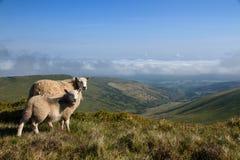 Dos ovejas que miran abajo del valle hacia Brecon en el Brecon balizan el parque nacional Foto de archivo libre de regalías