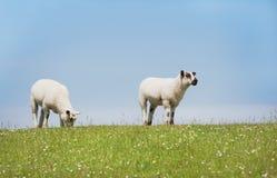 Dos ovejas que se colocan de mirada en el dique Foto de archivo libre de regalías