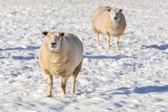 Dos ovejas que se colocan en nieve durante invierno Foto de archivo libre de regalías