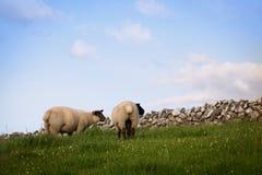 Dos ovejas que se colocan en un pasto imagenes de archivo