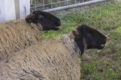Dos ovejas se sientan en la tierra Foto de archivo