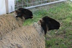 Dos ovejas se sientan en la tierra Imagenes de archivo