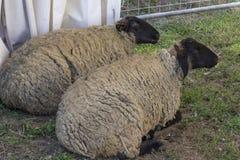 Dos ovejas se sientan en la tierra en afarm en Toscana Foto de archivo libre de regalías