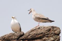 Dos pájaros Fotografía de archivo libre de regalías