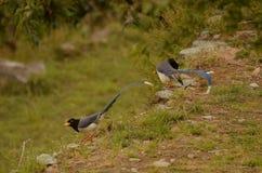 Dos pájaros azules de las urracas Imágenes de archivo libres de regalías