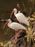 Dos pájaros blancos de Ibis Foto de archivo libre de regalías