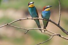 Dos pájaros coloreados entre las espinas Foto de archivo