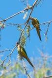 Dos pájaros de Aratinga que se aferran en una rama con algunas flores Imagen de archivo