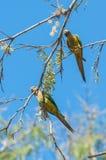 Dos pájaros de Aratinga que se aferran en una rama con algunas flores Imagenes de archivo