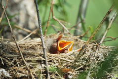 Dos pájaros de bebé Imagen de archivo libre de regalías