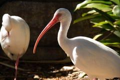 Dos pájaros de Ibis y una planta Imagen de archivo libre de regalías