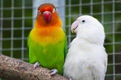 Dos pájaros de los lovebirds en una ramificación Foto de archivo libre de regalías