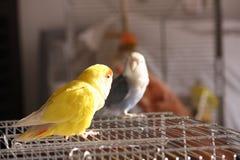 Dos pájaros del agaporni en jaula Fotos de archivo