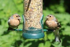 Dos pájaros del pinzón vulgar que alimentan desde alimentador del pájaro Imagen de archivo libre de regalías