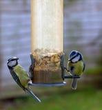 Dos pájaros del Tit azul que introducen en los gérmenes foto de archivo