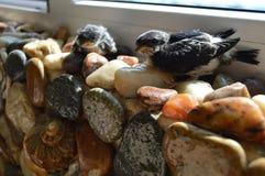 Dos pájaros del trago del bebé en rocas Fotografía de archivo