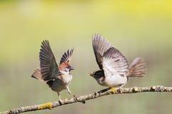 Dos pájaros divertidos los gorriones en la primavera en el parque en un sujetador Fotografía de archivo libre de regalías