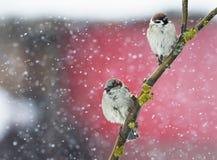 Dos pájaros divertidos que asisten en una rama durante las nevadas pesadas Imagen de archivo